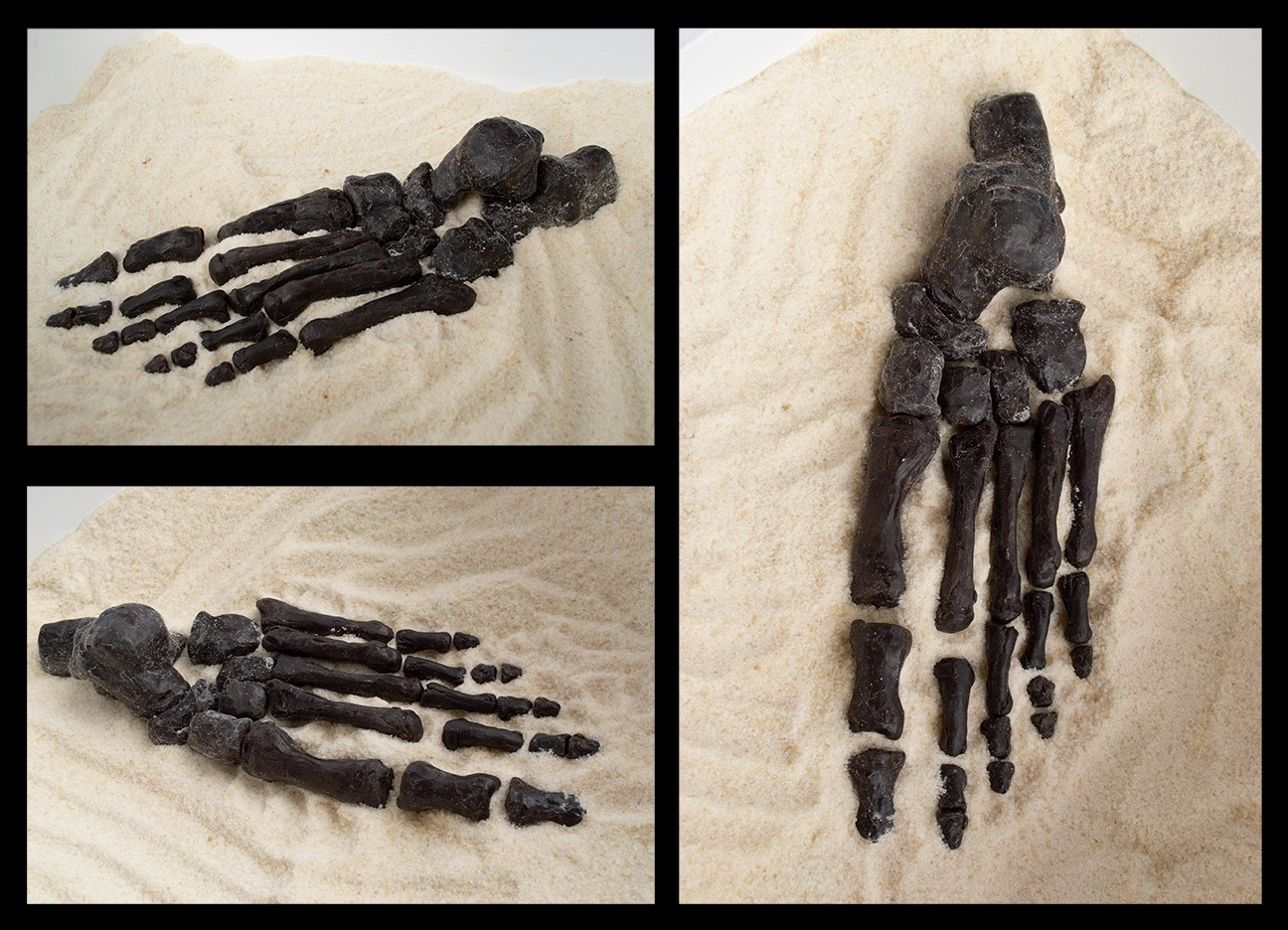 A photograph shows a hand-sculpted skeletal foot which includes the tarsals, metatarsals, calcaneus, and phalanges all partially buried in the sand. Another photograph shows a hand-sculpted tibia and fibula, also known as your shin bones.