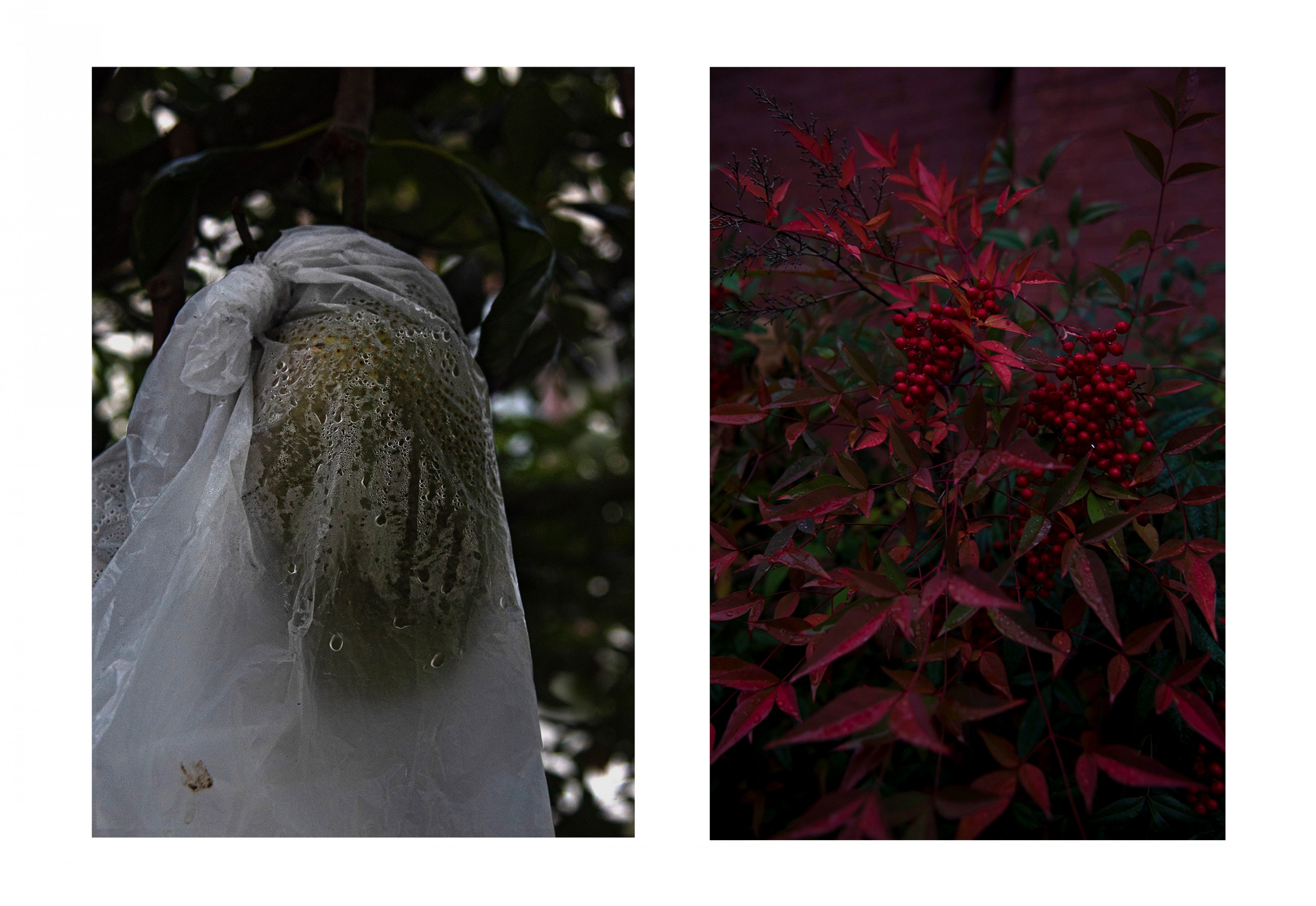 Two photographs next to each other, one on the left has jackfruit covered in a plastic bag hanging from the tree and the one on the right has red berries in a tree.