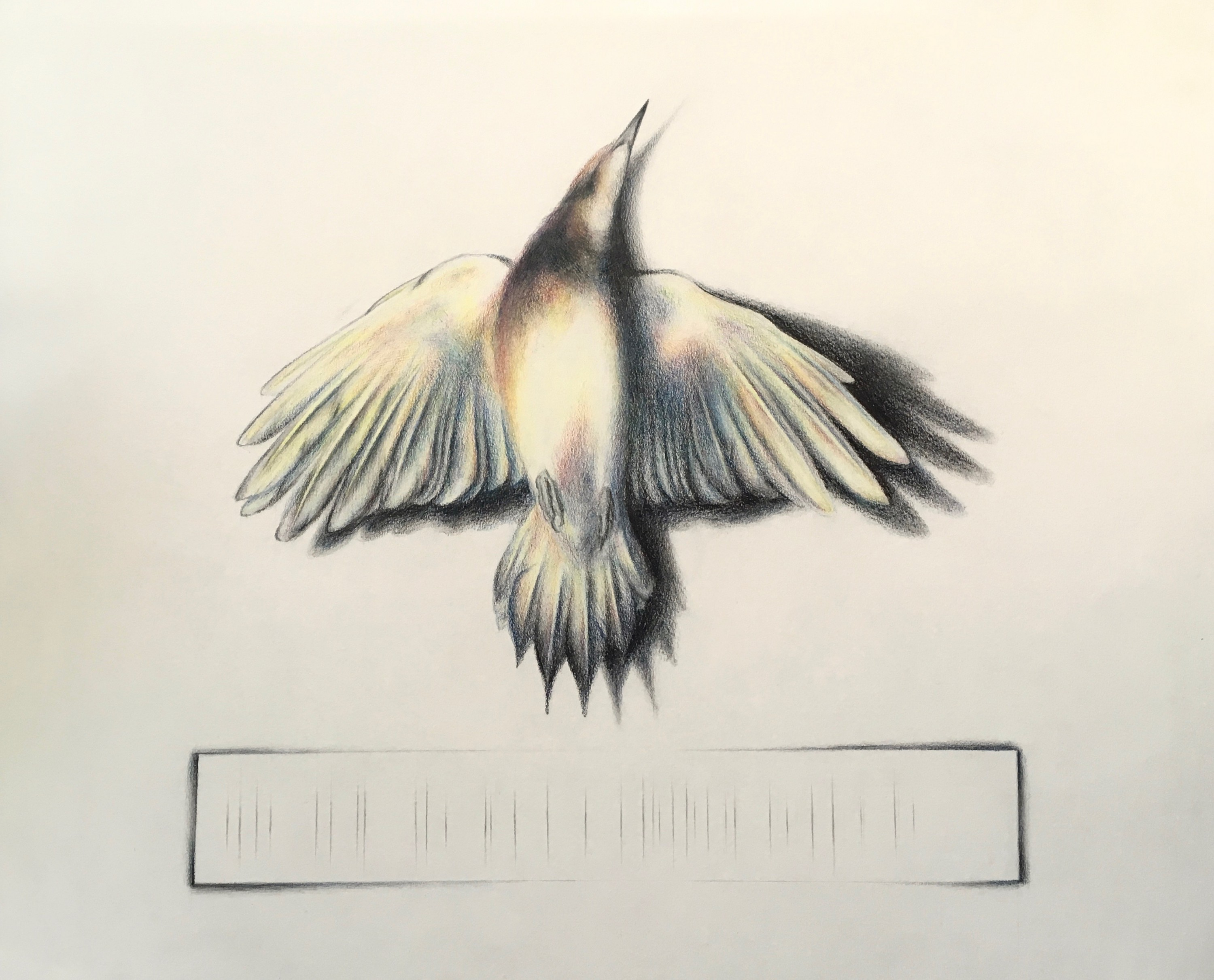 Drawing of a Northern Flicker