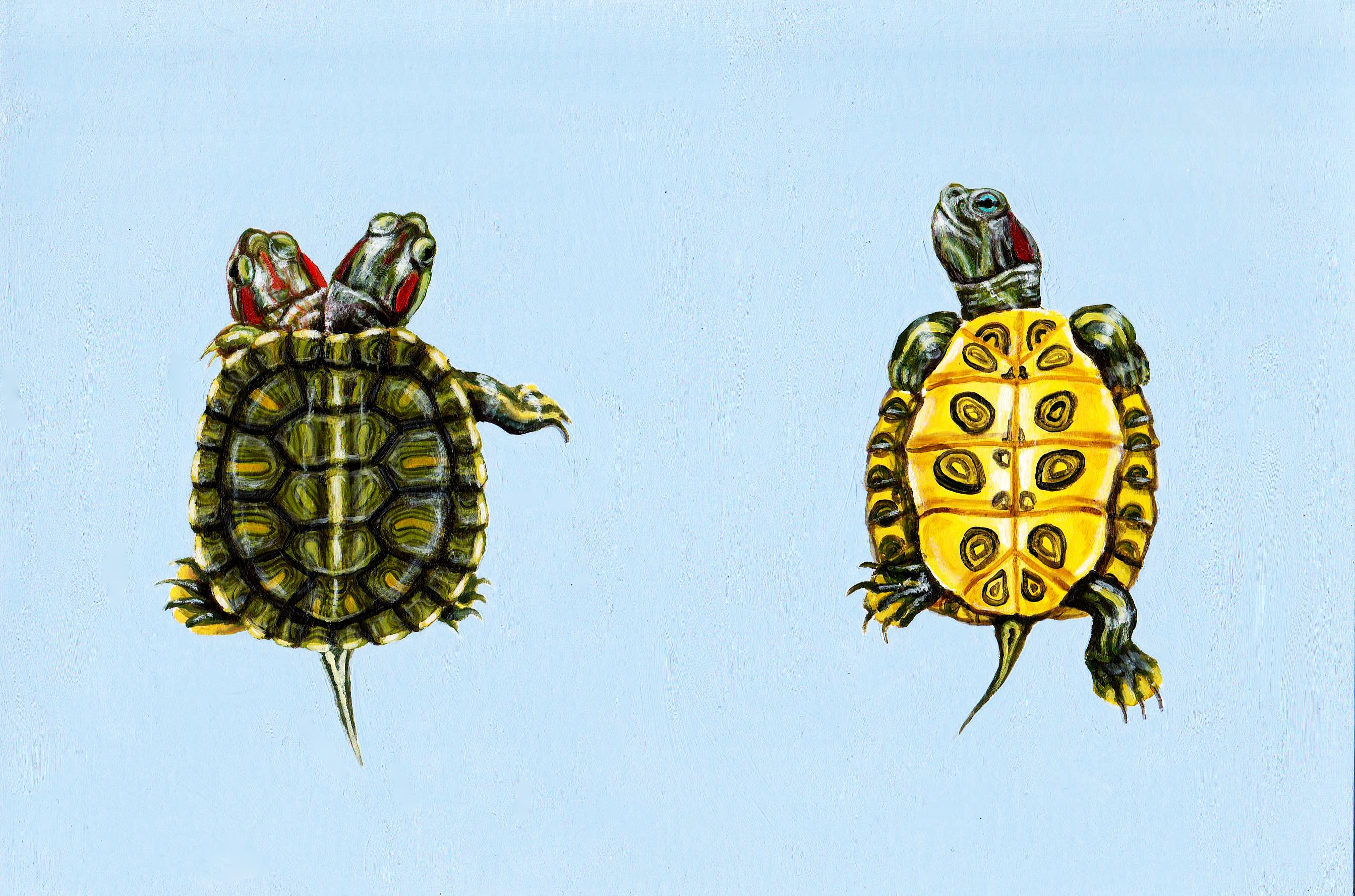 Rectangular acrylic painting of two baby red-eared slider turtles on a pale sky blue background. The one on the left has polycephaly with two heads, and the one on the right is facing its bright yellow stomach to the viewer.