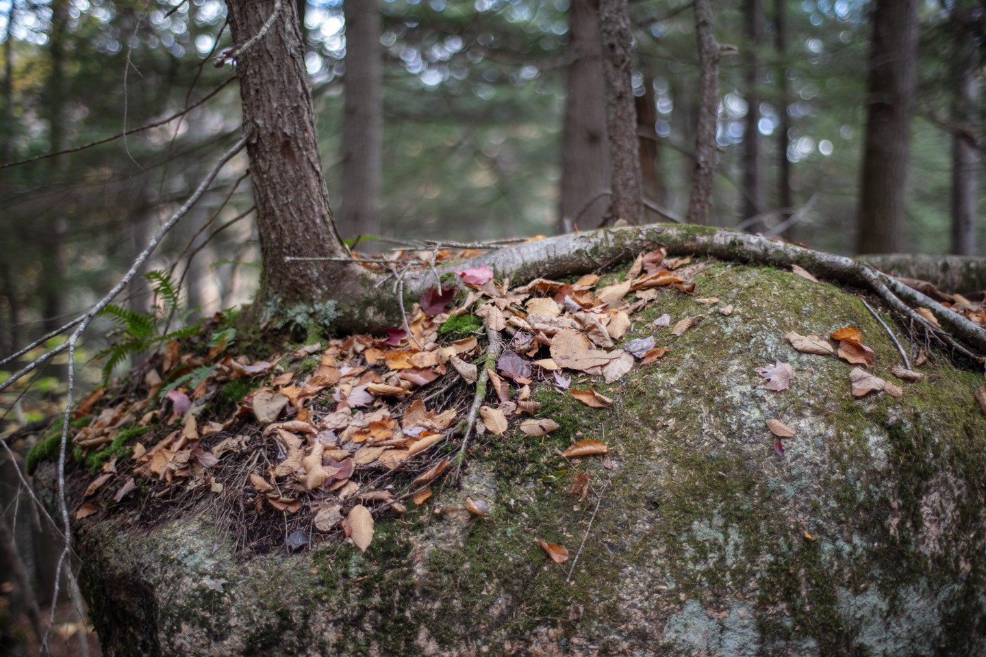 Risher_Wondrous (1 of 7) - This is a landscape orientated digital photograph taken during the day, in the forest. In the foreground of the photo sits a large boulder. On top of the boulder, moss and last season's leaves are scattered over the surface. On