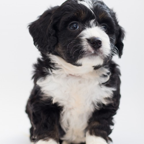 Picture of black and white puppy sitting